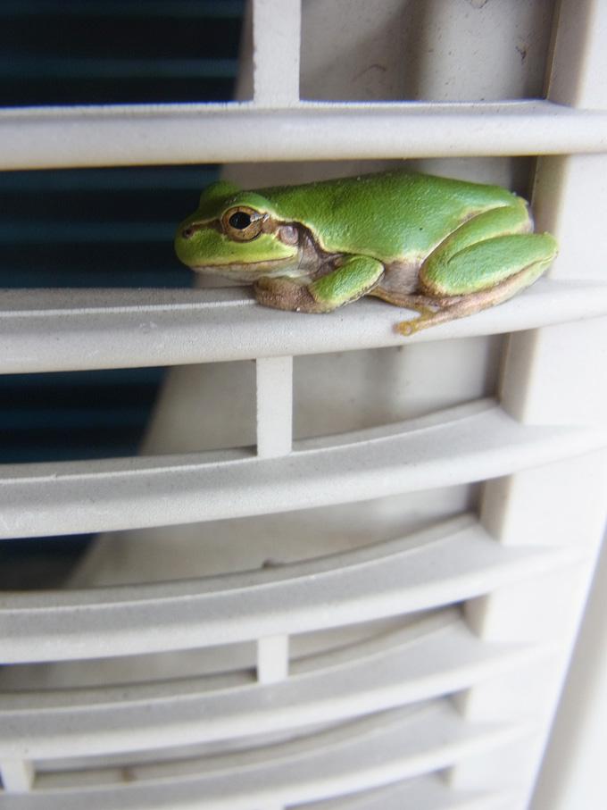 カエルがかくれんぼ